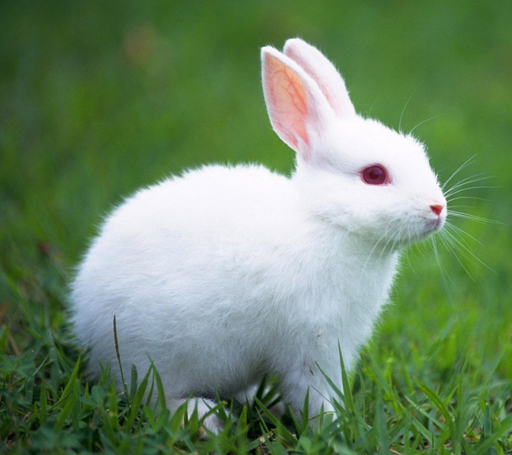 white-rabbit-wallpaper-2